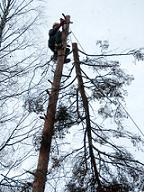 Вырубка сухих деревьев
